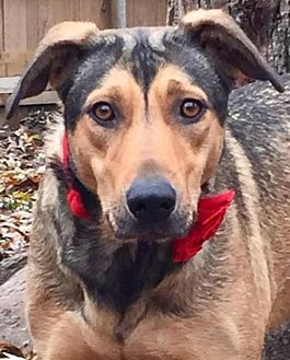 German Shepherd Dog/Rhodesian Ridgeback Mix Dog for adoption in Memphis, Tennessee - Duchess~LoverGirl!