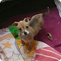 Adopt A Pet :: Pebbles - Stockton, CA