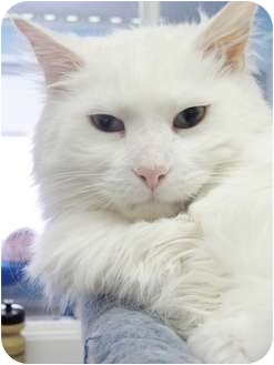 Domestic Longhair Cat for adoption in North Branford, Connecticut - Noah