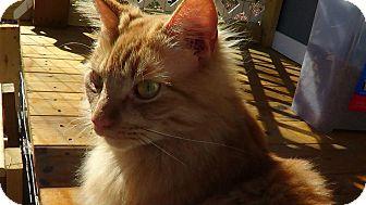 Norwegian Forest Cat Cat for adoption in Bedford, Virginia - Applejack