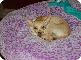 Chihuahua Mix Dog for adoption in Russellville, Kentucky - Maddie