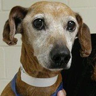 Dachshund Dog for adoption in Houston, Texas - Nash Nidoran