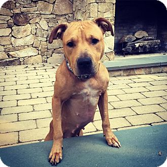 American Pit Bull Terrier/Black Mouth Cur Mix Dog for adoption in Hawleyville, Connecticut - Penny