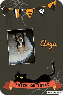 Chihuahua/Dachshund Mix Puppy for adoption in Springtown, Texas - Arya