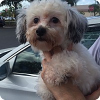Adopt A Pet :: Suki - St. Petersburg, FL