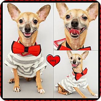 Chihuahua Mix Dog for adoption in Phoenix, Arizona - Joey