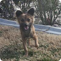 Adopt A Pet :: Stewie - Henderson, NV