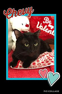 Domestic Shorthair Cat for adoption in Arlington/Ft Worth, Texas - Chevy