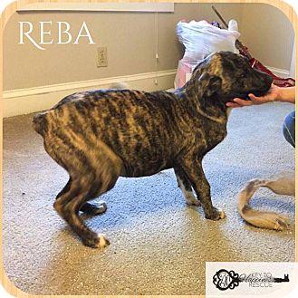 Mastiff/Labrador Retriever Mix Puppy for adoption in DeForest, Wisconsin - Reba