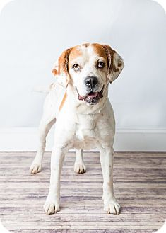 Beagle/Pointer Mix Dog for adoption in Hendersonville, North Carolina - Charlie