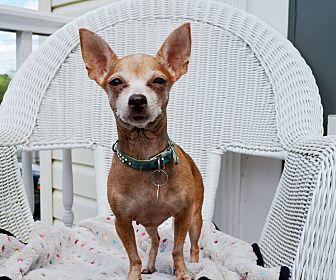 Chihuahua Dog for adoption in Pittsburgh, Pennsylvania - Scarlett