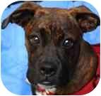 Boxer Mix Dog for adoption in Sunderland, Massachusetts - Jade