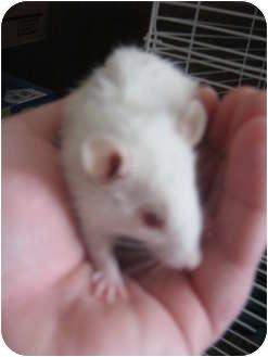 Rat for adoption in Cincinnati, Ohio - Tiny Tim