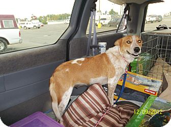 Blue Heeler Mix Dog for adoption in Farmingtoon, Missouri - Rozee
