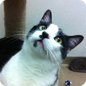 Domestic Shorthair Cat for adoption in Gilbert, Arizona - Cleopatra