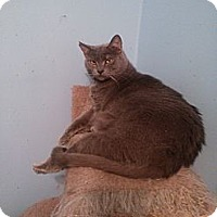 Domestic Shorthair Cat for adoption in East Stroudsburg, Pennsylvania - Bailey