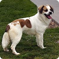 Australian Shepherd/Spaniel (Unknown Type) Mix Dog for adoption in Maynardville, Tennessee - Watson