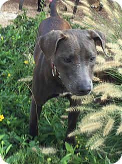 Weimaraner/Vizsla Mix Puppy for adoption in CHICAGO, Illinois - ROXANNE