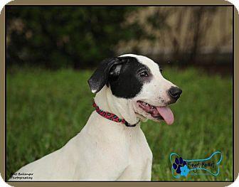 Black Mouth Cur Mix Puppy for adoption in Sarasota, Florida - Blaze