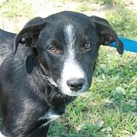 Adopt A Pet :: Mardi - Salem, NH
