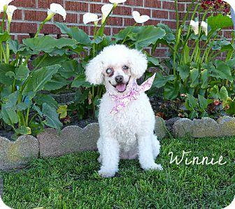 Poodle (Miniature)/Bichon Frise Mix Dog for adoption in Rancho Palos Verdes, California - Winnie