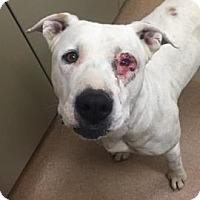 Adopt A Pet :: Zephyr #165933 - Apple Valley, CA