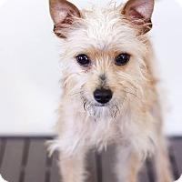 Adopt A Pet :: Noodles - Corona, CA