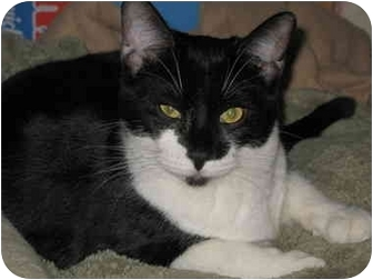Domestic Shorthair Cat for adoption in Cincinnati, Ohio - Scooter
