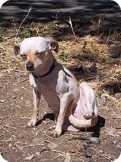 Chihuahua Mix Dog for adoption in Bakersfield, California - Abbey