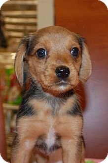 Beagle/Yorkie, Yorkshire Terrier Mix Puppy for adoption in Lexington, Kentucky - Beagle/yorkie mix puppies