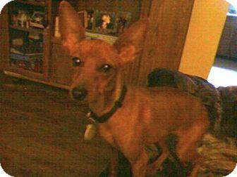 Miniature Pinscher/Chihuahua Mix Dog for adoption in Bardonia, New York - Farah