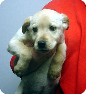 Labrador Retriever Mix Puppy for adoption in Greencastle, North Carolina - Paris