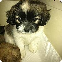 Adopt A Pet :: Basil - pasadena, CA