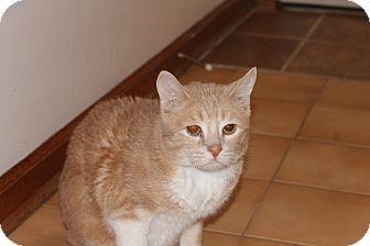 Domestic Shorthair Cat for adoption in Solebury, Pennsylvania - Rudy