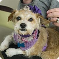 Adopt A Pet :: Claire - Grass Valley, CA
