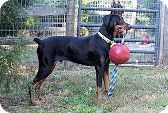 Doberman Pinscher Dog for adoption in Greensboro, North Carolina - SERGEI