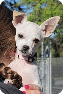 Chihuahua Mix Puppy for adoption in Sonoma, California - Bambi
