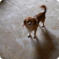 Adopt A Pet :: Lewis - dewey, AZ