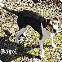 Adopt A Pet :: Bagel - Lawrenceburg, TN