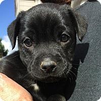 Pit Bull Terrier Mix Dog for adoption in Sunnyvale, California - Sarah