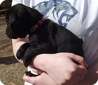 Pug/Cattle Dog Mix Puppy for adoption in Lincoln, Nebraska - Nara
