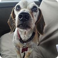 Adopt A Pet :: Otto - Las Vegas, NV