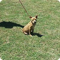 Adopt A Pet :: Butter Scotch - San Antonio, TX