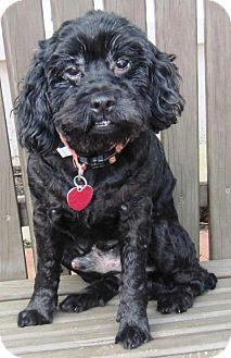 Poodle (Miniature)/Cocker Spaniel Mix Dog for adoption in Harrisonburg, Virginia - Dusty