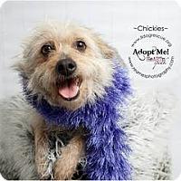 Adopt A Pet :: Chickies (Chiquis) - Shawnee Mission, KS