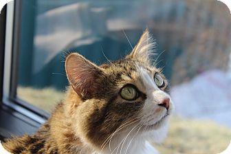 Domestic Mediumhair Cat for adoption in Battle Creek, Michigan - Pixie