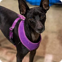 Adopt A Pet :: Domino - Henderson, NV
