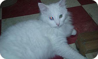 Domestic Longhair Cat for adoption in Berkley, Michigan - Flinton