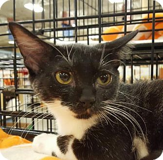 Domestic Shorthair Kitten for adoption in Knoxville, Tennessee - Minnie