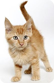Domestic Shorthair Kitten for adoption in Gloucester, Virginia - SHAWN